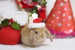 写真:サンタの帽子をかぶったウサギ