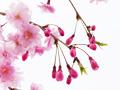 「桜」の写真俳句をご紹介